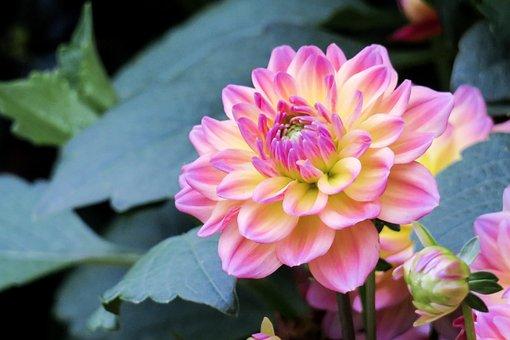 Flower, Plant, Nature, Garden, Leaf, Dahlia, Summer