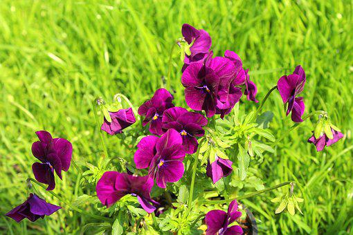 Pansies, Nature, Flower, Plant, Spring, Grass, Green