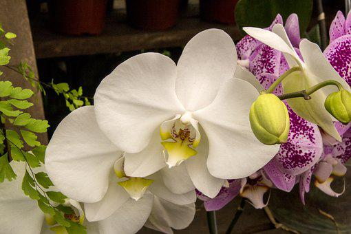 Orchid, White Orchid, Flower, Plant, Nature, Beautiful