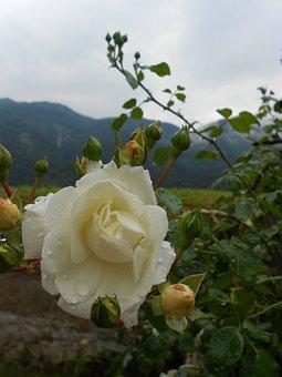 White Rose, Raindrops, Plant, Nature, Flowers