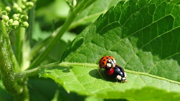 Ladybug, Sex
