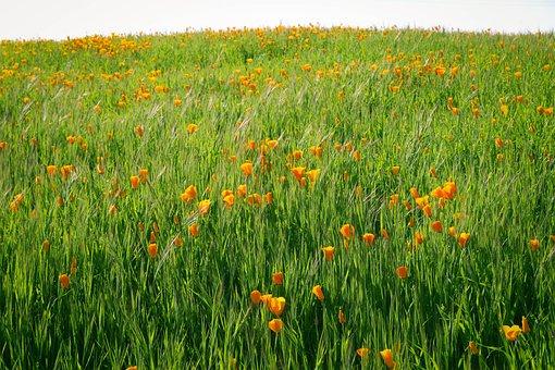 Nature, Summer, Flower, Field, Flora, Poppy, Grass