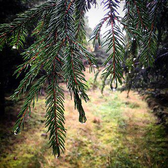 Tree, Periwinkle, Pine, Fir, Branch, Conifer