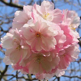 Japanese Cherry, Flowers, Umbels, Harbinger Of Spring