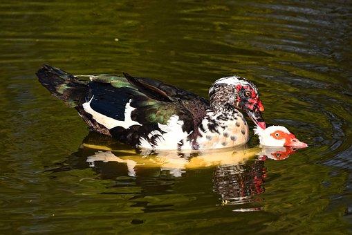 Muscovy Duck, Duck, Bird, Water Bird, Animal, Male