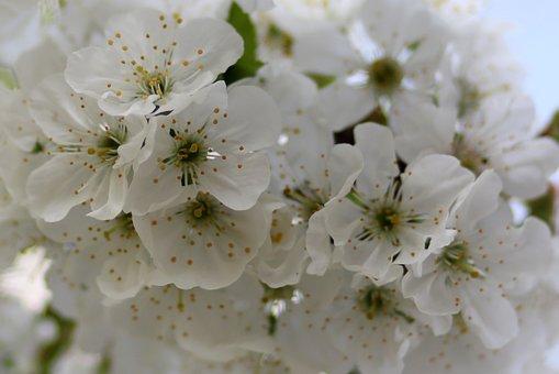 Flowers, White, Tree, Fruit, Casey