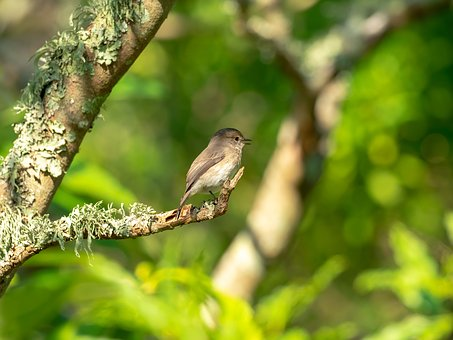 African Dusky Flycatcher, Bird, Nature, Wildlife