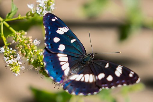 Butterfly, Insect, Nature, Outdoors, Wildlife, Moth