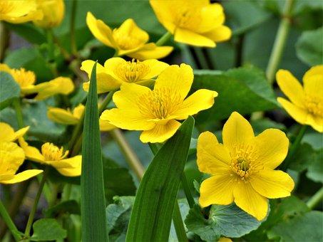 Flowers, Yellow, Marsh Marigold, Renonculacée
