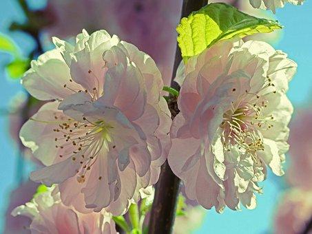 Almond Blossom, Flowers, Petals, Stamens