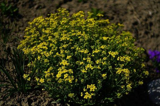 Stone Herb, The Mountain Stone Herb, Alyssum Montanum