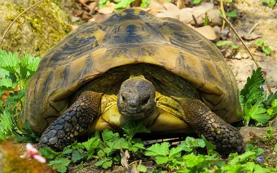 Animals, Nature, Turtle, Reptile, Slowly, Tortoise