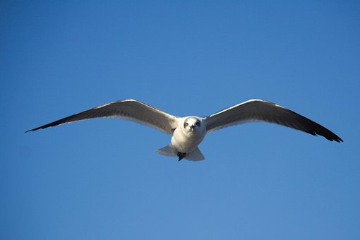 Bird, Nature, Flight, Wildlife, Sky, Seagulls, Outdoors