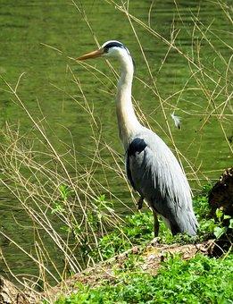 Bird, Animal World, Feather, Heron, Nature, Water, Hunt
