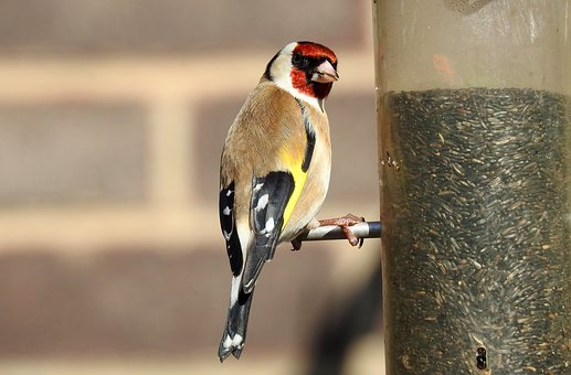 Bird, Wildlife, Nature, Goldfinch, Colourful
