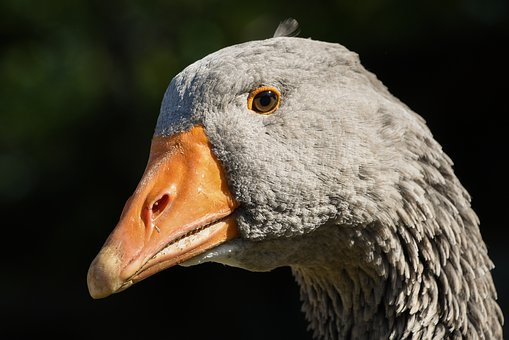 Goose, Portrait, Bird, Animal, Head, Grey, Sun