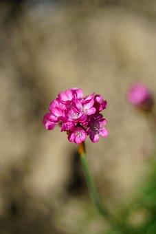 The Beach-grass Elke, Carnation, Flower, Blossom, Bloom