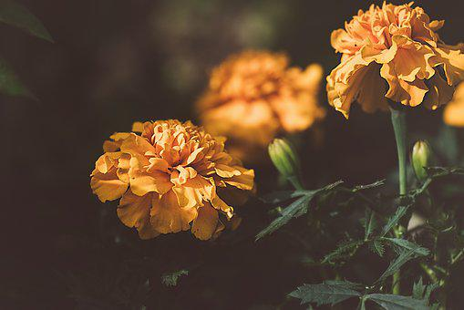 Marigold, Orange, Orange Flower, Blossom, Bloom