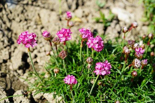 Flower, Pink, The Beach-grass Elke, Carnation, Blossom