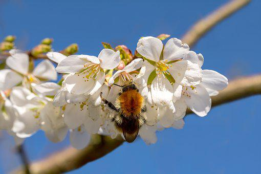 Hummel, Bombus, Cherry Blossom, In Search Of Food, Bee