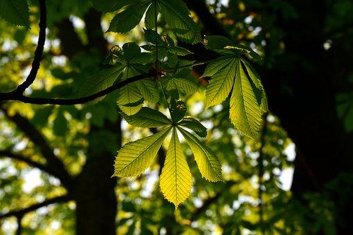 Leaf, Plant, Tree, Chestnut Tree, Branch, Tribe