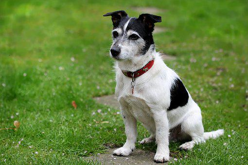 Animal, Dog, Jack Russell, Terrier, Black White