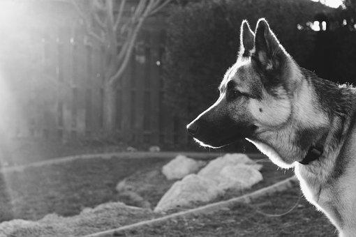 Dog, German Shepard Mix, People, Mammal
