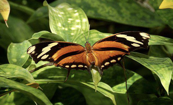 Butterfly, Exotic, Insect, Tropical Butterfly, Tropical