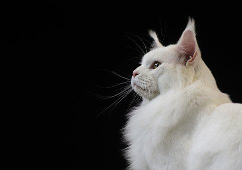 Cute, Animal, Portrait, Eye, Sit, Cat, Pet, Hair
