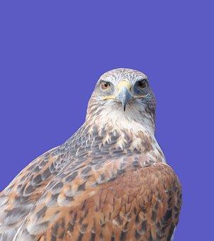 Ferruginous Hawk, Raptor, Bird, Hawk, Falcon, Predator