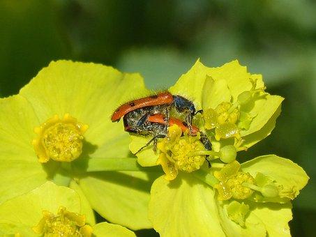 Beetle Meloideo, False Ladybird