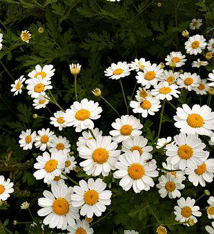 Flower, Flora, Chamomile, Nature, Summer, Floral