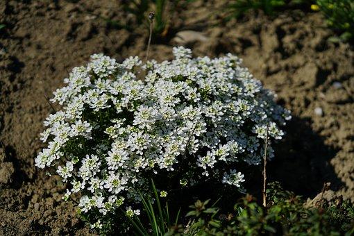 Beach-silver Herb, Flower, Flowers, White