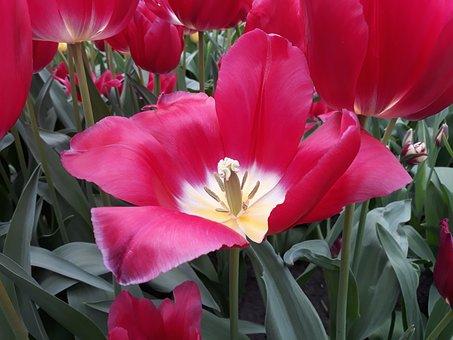 Flower, Tulip, Plant, Nature, Garden, Spring, Leaf