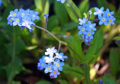 Forget Me Not, Nature, Flower, Plant, Leaf