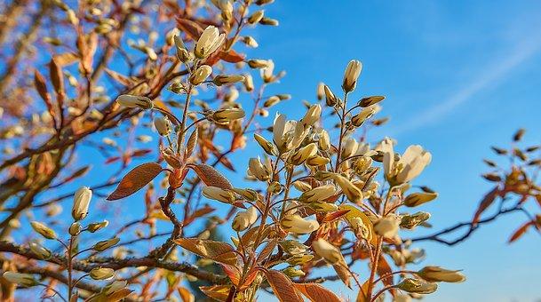 Copper Rock Pear, Flowers, Amelanchier Lamarckii