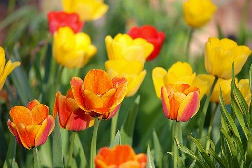 Tulips, Orange, Yellow, Red, Tulip Field, Flowers