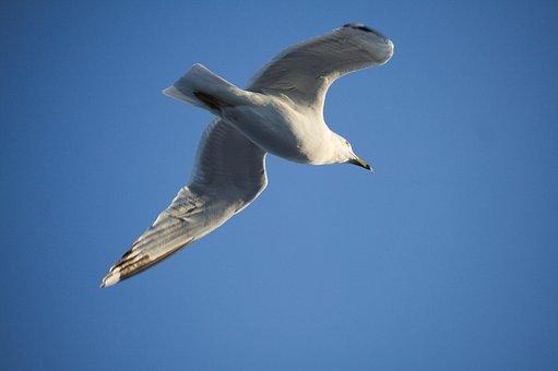 Bird, Wildlife, Nature, Seagulls, Flight, Sky, Freedom