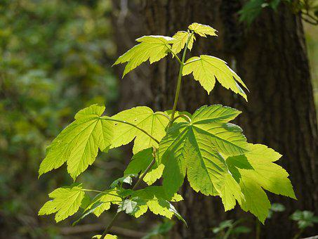 Maple Leaves, Fresh Green, Foliation, Spring, Leaf