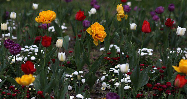 Tulips, Flowers, Supplies, Many, Decorative, Coloring