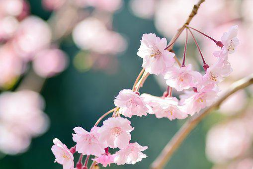 Flowers, Natural, Plant, Outdoors, Wood, Spring, Pink