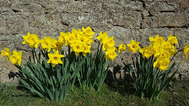 Flower, Flora, Nature, Daffodil, Floral, Blooming