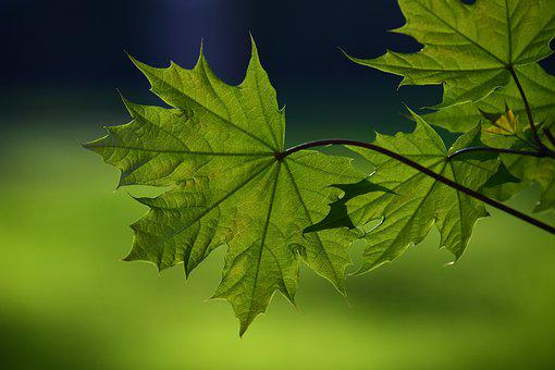 Leaf, Plant, Nature, Green, Tender, Young, New
