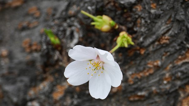 Nature, Naked Trees, Cherry Flowers, Park, Leaf, Spring