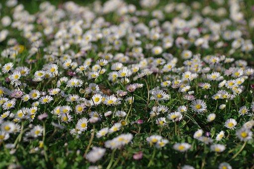 Daisy, Flower, Plant, Nature, Field, Summer, Meadow