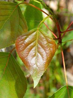 Poplar, Leaf, Outbreak, Red Leaf, Plant, Nature, Tree