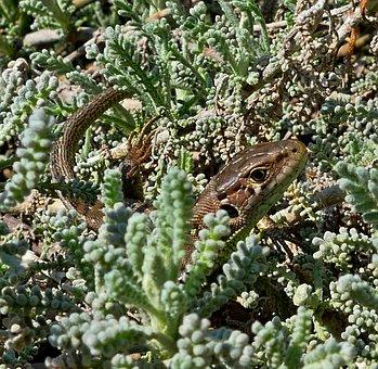 The Lizard, Common, Reptile, Nature