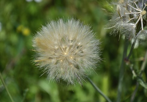 Nature, Taraxacum, Plant, Summer