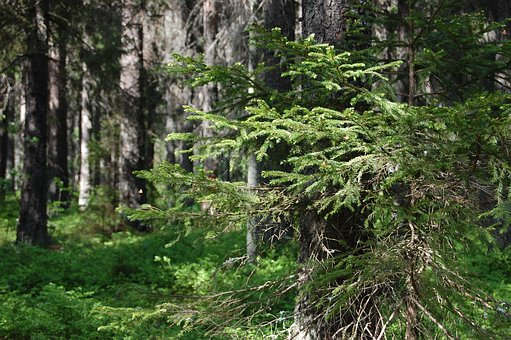 Nature, Tree, Wood, Outdoor, Plant, Lawn, Conifers