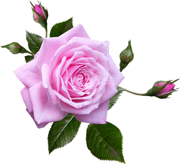 Rose, Pink, Flower, Plant, Garden, Perfume